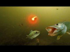 Мигалка - РАБОТАЕТ! Атака щуки на живца! Подводная съемка