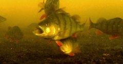 Странная реакция рыбы на аскорбинку. Лучше бы детям отдал