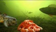 Эта РЫБА обожает креветку! Рыбалка на креветку. Подводная съемка