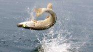 Атака щуки. Вот за что я люблю рыбалку на поппер!