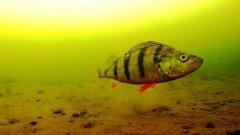 Как рыба реагирует на ВАЛЕРЬЯНКУ. Фишка в том, что съемки под водой