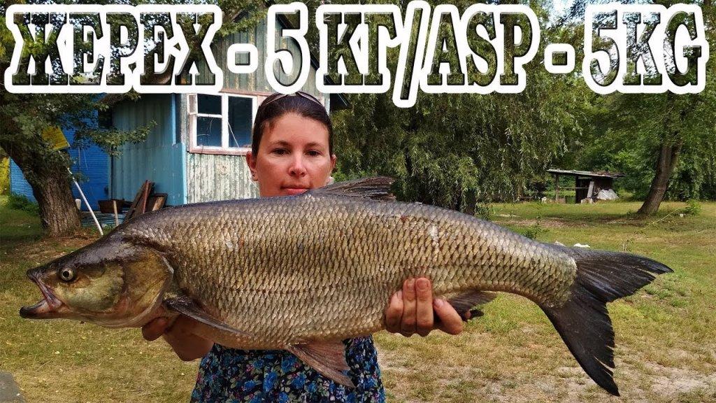 Жерех - 5 кг / ASP - 5 kg