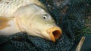 Уловистая приманка на мирную рыбу. Дип из чеснока