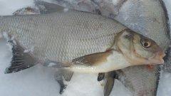 Прикормка для леща на зимней рыбалке