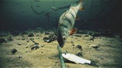 Атака окуня на карася! Подводная съемка