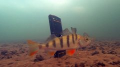 Реакция рыбы на музыку, вибрацию. Подводная съемка. Телефон Land Rover P60
