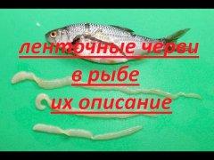Ленточные черви в рыбе. Их описание