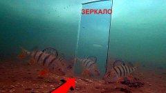 Реакция рыбы на зеркало. Подводная съемка