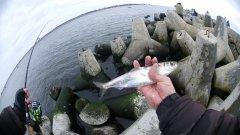 Морская рыбалка. Салака Балтийского моря.