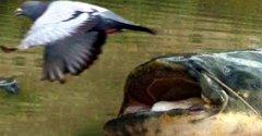 Как сомы выпрыгивают из воды чтобы кинуться на голубей