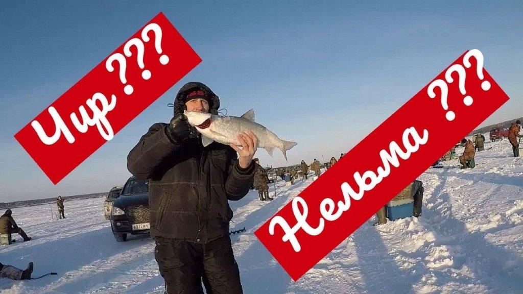 Нельма или Чир поймался на Обском море Зимняя Рыбалка Спирино