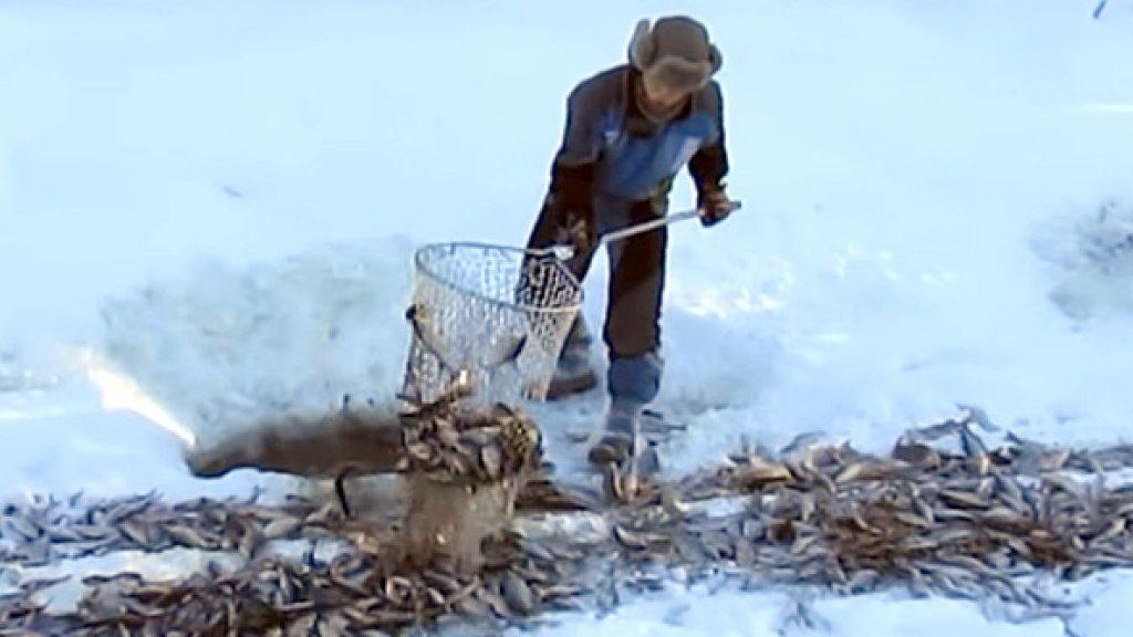 Вычерпывает рыбу подсаком и говорит - не клюет. Браконьер? Или замор?