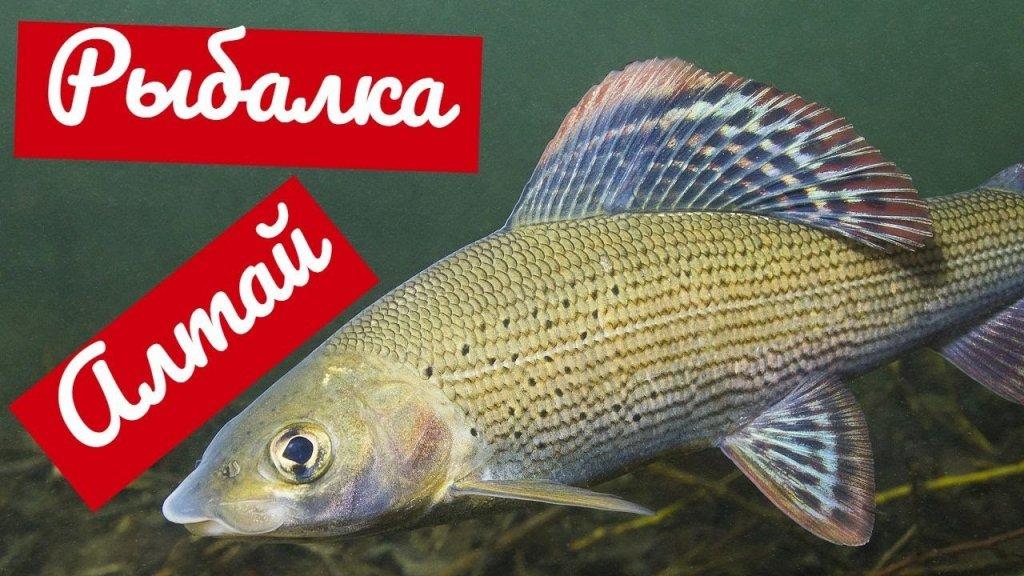 Секрет Ловли Хариуса на Жимолость Рыбалка на Озере Тальмень в Горном Алтае
