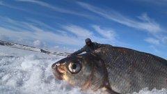 Лещ первоапрельский! Рыбалка по последнему льду
