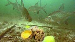 Реакция рыбы на ПЕРЕПЕЛИНЫЕ ЯЙЦА!!! Подводная съемка