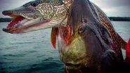 ТОП-20 лучших атак щуки под водой