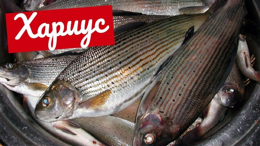 Чистим рыбу на озере Тальмень в Горном Алтае. Как добраться на рыбалку