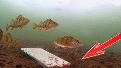 Реакция рыбы на зеркало. Часть 1. Окунь, рак, астронотус. Подводная съемка