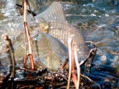 Столько рыбы вы еще не видели. Карась прет дуром на нерест!
