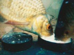 Зачем в прикормке шипучие таблетки? Не знали? Реакция рыбы, подводные съемки!