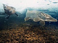 Подводные съемки: Щука и ондатра на отмели