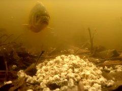 Перловка + жаренные семечки! Реакция рыбы! Подводная съемка