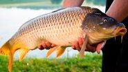 Рыбалка на сазана. Секреты целенаправленной ловли. Отличный клев!