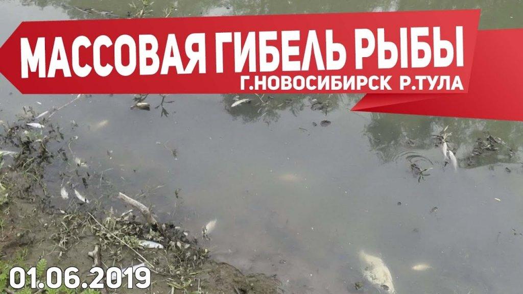 Массовая гибель рыбы в устье р.Тула. Новосибирск. 01.06.2019