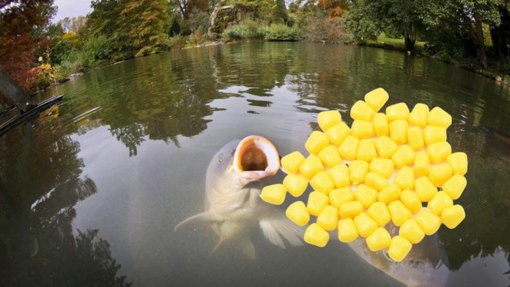 Обловишь всех: Уловистая насадка - плавающая кукуруза