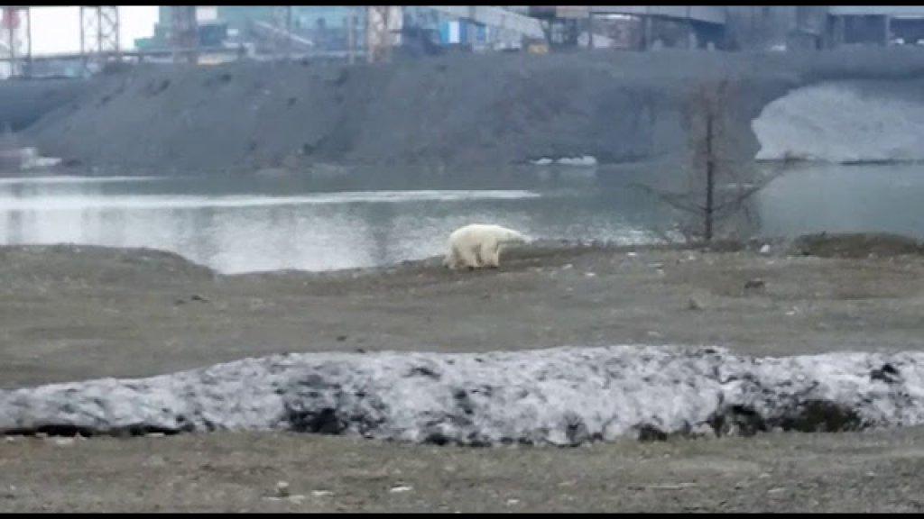 Белый медведь зашел в город. Норильск.