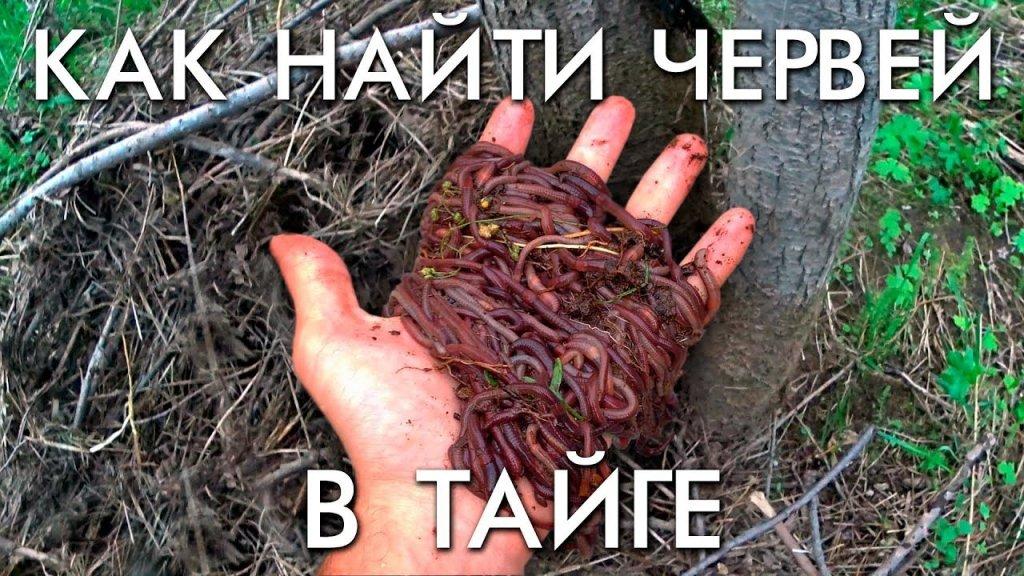 Как найти в червей в тайге или где искать червей в лесу