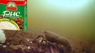 На рисовую кашу сбежались раки! Подводная съемка