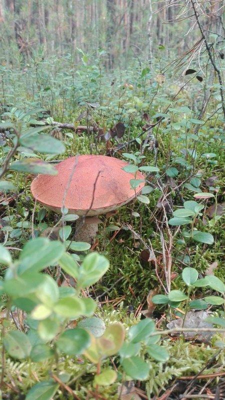 По грибы, по тайге!