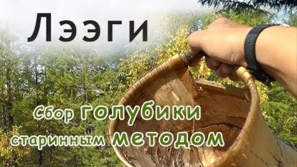 Сбор голубики старинным методом.//Picking berries in Yakutia.