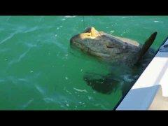 150 кг гигант - морской окунь монстр
