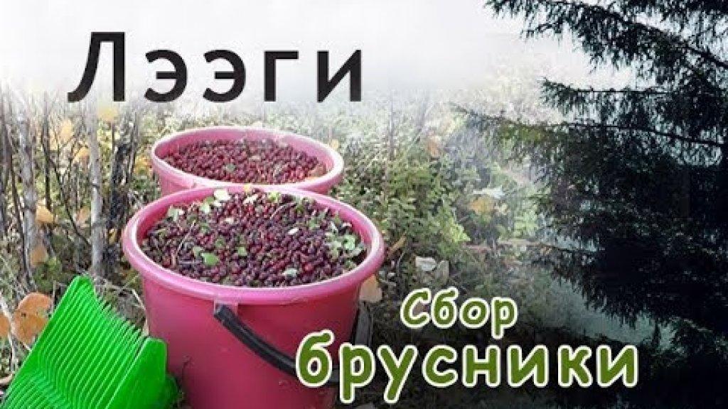 Лээги. Сбор брусники в Якутии. Обзор палаток.//Berry picking in Yakutia.