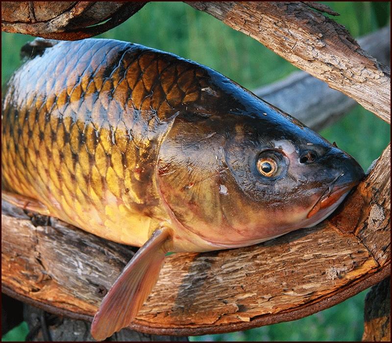 свой сайт, сазан фото рыба речная красивые