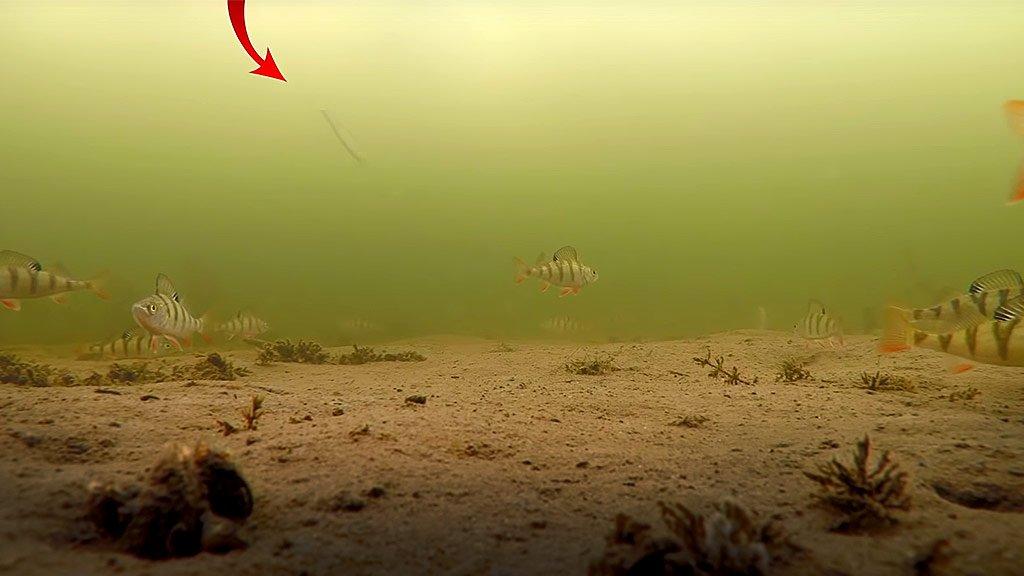 Пойманную рыбу отпустили в лунку. Распугает ли она остальных? Подводные съемки