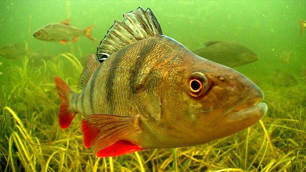 картинки про рыбу окуня что