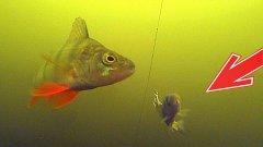 Дерзкие окуни атакуют! Ловля хищника на живца и спиннинг! Подводная съемка
