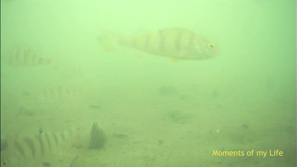 Бердский залив 24.11.2019, подводная съемка, окуня тьма, но он не ест.
