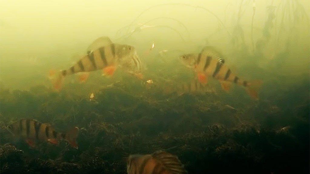 Что делает рыба после того, как ее отпустили? Окунь, подводные съемки