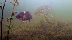 Рыбалка на жерлицы. Какой живец лучше - местный или привозной?