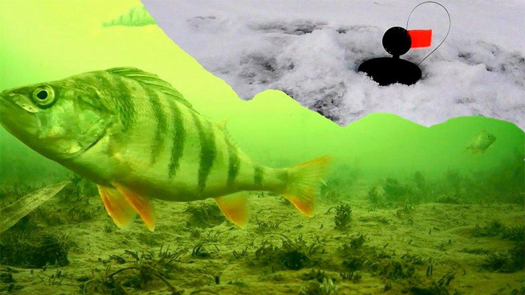 Как окунь клюет на жерлицу? Подводная съемка