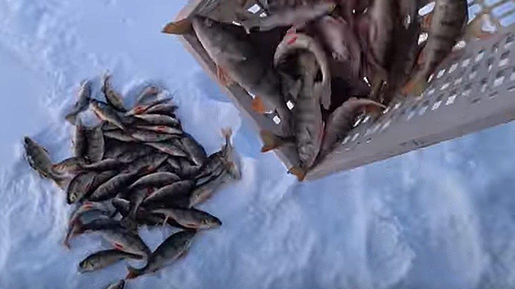 Зимняя рыбалка. 82 окуня с одного места. Сюрприз для подписчиков