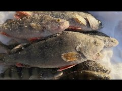 ЩУКА НА МОРМЫШКУ! А так же ОКУНИ и даже РАКИ и КАРАСИ! Зимняя рыбалка 2019 | мормышка, Fish, Fishing