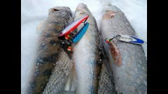 Рыбалка на Обском море. Судак. Щука.