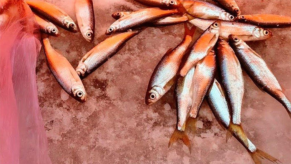 Уклейка клюет на каждом опускании мормышки под лед, рыбалка 2020