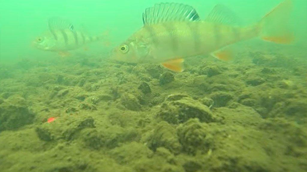 Реакция речной рыбы на лазерную указку. Подводная съёмка