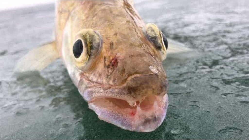 зимняя рыбалка на судака, водохранилище Курты январь 2020 fisherman21